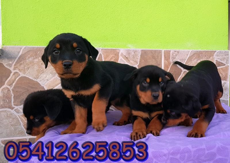 rottweiler yavru fiyatları