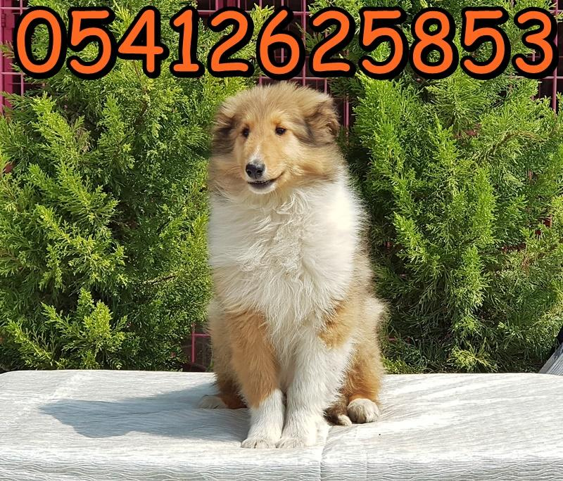 Rough Collie Yavrusu
