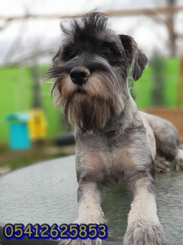 salt and pepper schnauzer