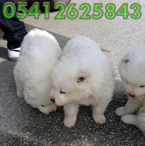 samoyed köpek
