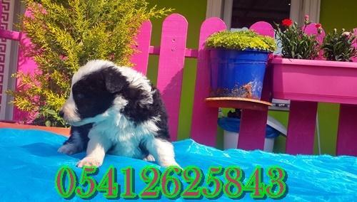 satılık border collie yavru