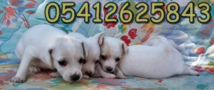 satılık chihuahua yavrular