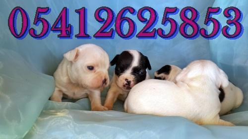 satılık fransız bulldog yavrulari