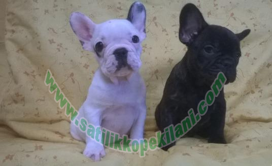 satılık fransız bulldog