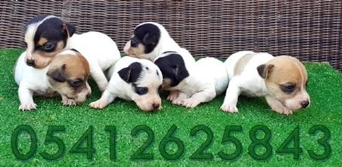 Jack Russel Terrier Yavru İlanları