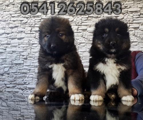 satılık kafkas çoban köpeği