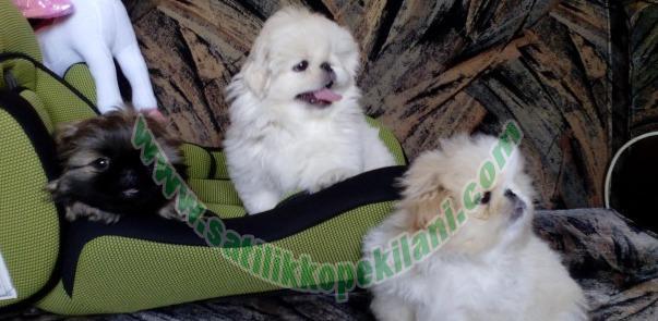 satılık köpek yavruları