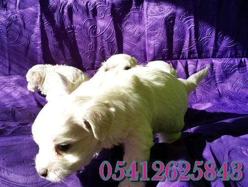 Maltes Terrier Yavru İlanları