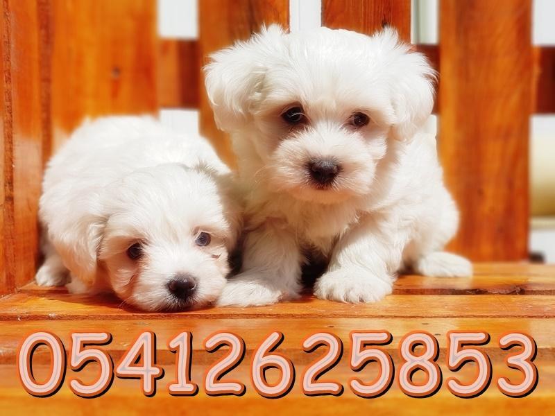 satılık maltes terrier