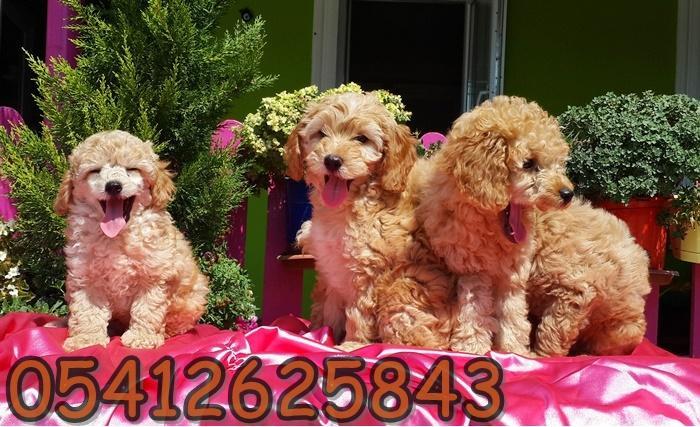 satılık poodle
