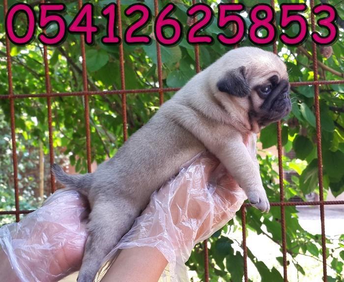 satılık pug fiyatları