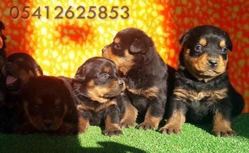 Rottweiler Yavru İlanları