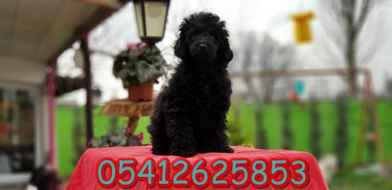 Siyah Toy Poodle Yavru İlanları