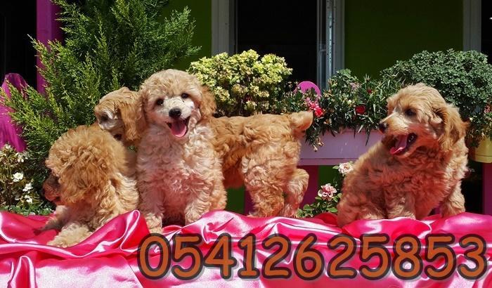 satılık toy poodle