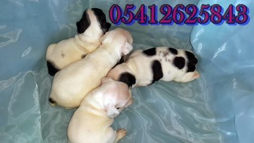 satılık yavru fransız bulldog