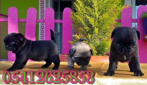 satılık yavru pug
