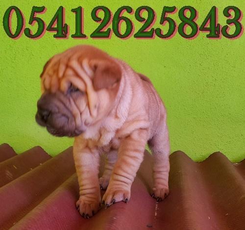 satılık yavru shar pei
