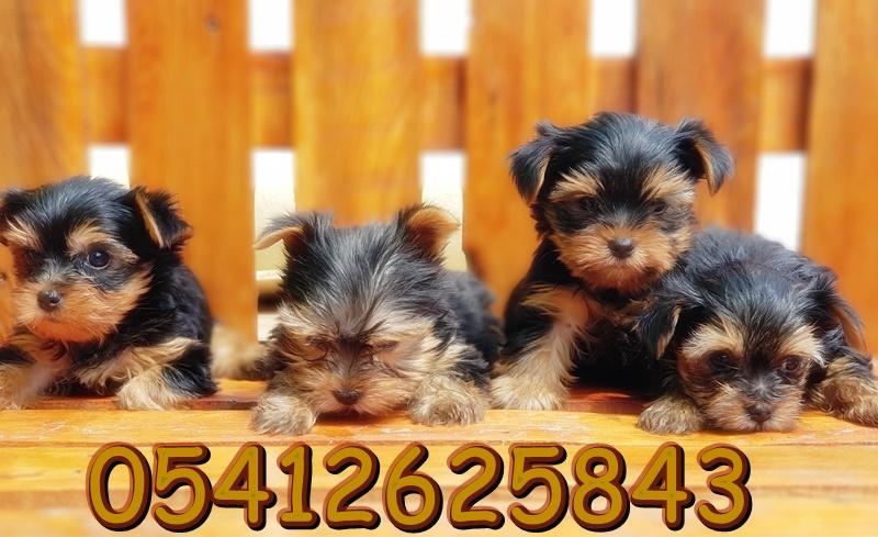 satılık yorkshire terrier