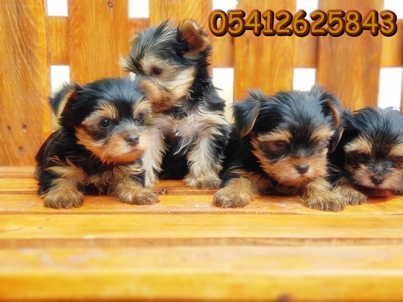 satılık yorkshire terrier yavru