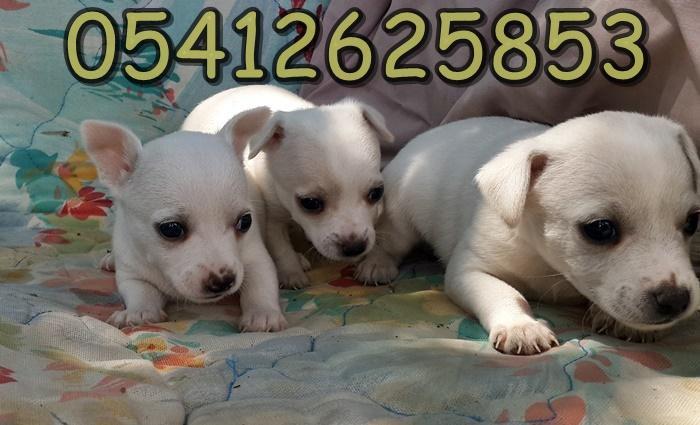 Chihuahua Yavru Fiyatları