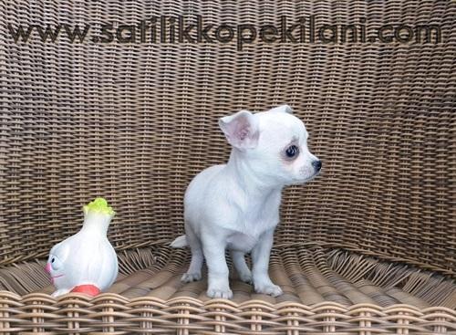 Chihuahua Şivava Yavru İlanları
