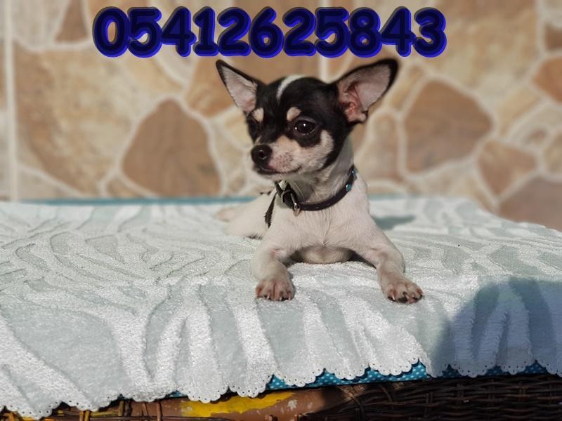 Chihuahua Yavru İlanları