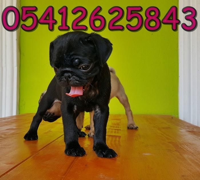 siyah pug