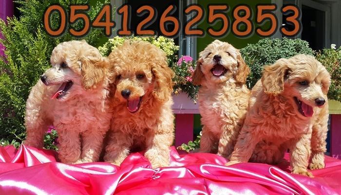 toy poodle özellikleri