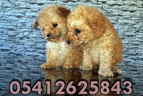 Toy Poodle Fiyatları