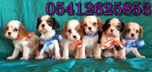 tri color cavalier king charles