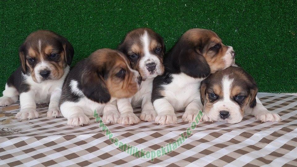 yavru beagle