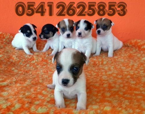 Jack Russel Terrier Yavru Fiyatları