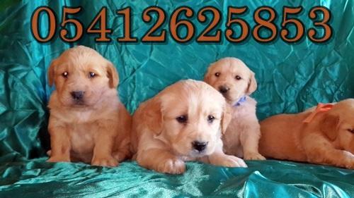 yavru köpek golden