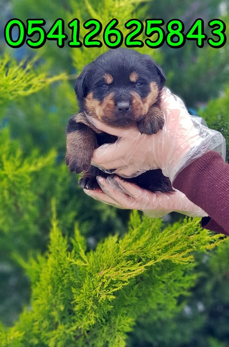 yavru-rottweiler