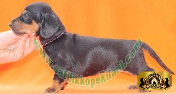 yavrudachshundsosis