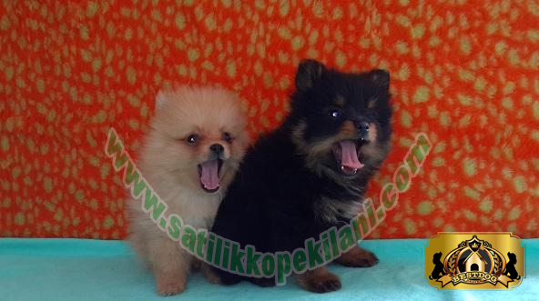 Yavru Pomeranian Boo Dog Fiyatları