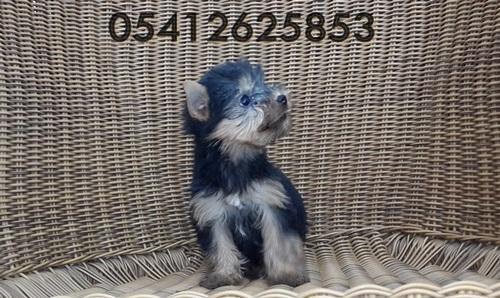 yorkshire terrier bakımı