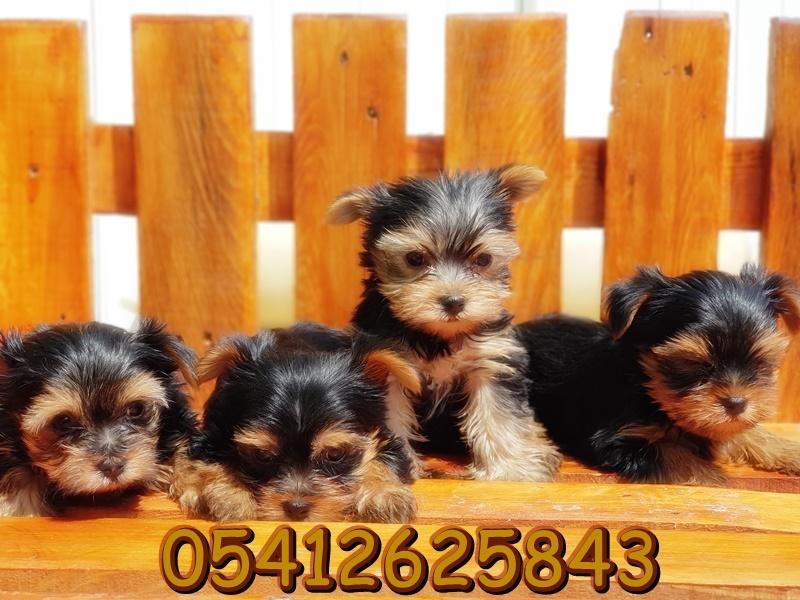 yorkshire terrier ilanı