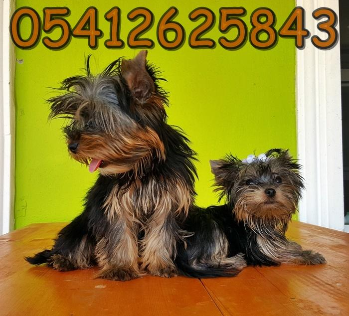 yorkshire terrier kilosu