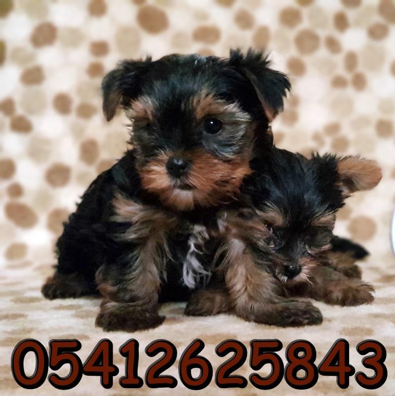 yorkshire terrier yavrusu