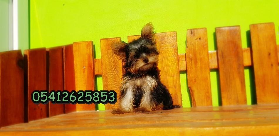 Teacup Yorkshire Terrier Yavru